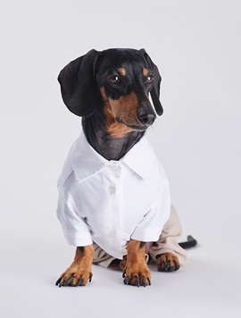 [Dachshund] White shirt